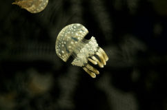 Jelly Fish, Aquarium - III Stock Photos