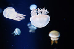 Jelly fish in aquarium Stock Photos