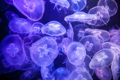 Jelly fish in aquarium Royalty Free Stock Photos