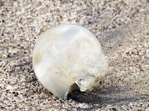 Jelly fish on the beach Royalty Free Stock Photo