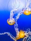 Jelly Fish in Blauw Water Stock Afbeeldingen