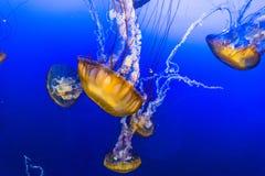 Jelly Fish in Blauw Water Royalty-vrije Stock Afbeeldingen
