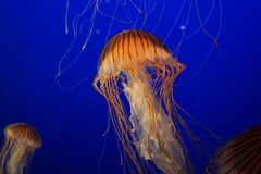 Jelly fish in blue sea Royalty Free Stock Images