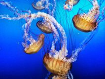 Jelly Fish in Blue Water. A family of large yellow jelly fish swimming in vibrant deep blue water. Diving down into a deep blue sea color Royalty Free Stock Photos