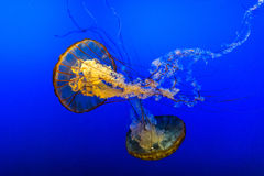 Jelly Fish in Blue Water Royalty Free Stock Photography