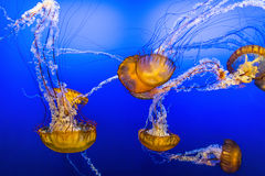 Jelly Fish in Blue Water. A family of large yellow jelly fish swimming in vibrant deep blue water. Diving down into a deep blue sea color Stock Image