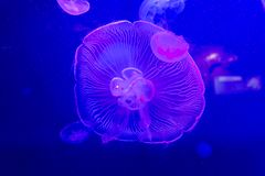 Jelly fish close up under coloured lights Royalty Free Stock Photo