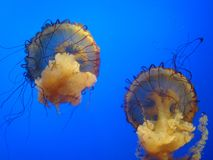 Jelly fish. Colorful jelly fish on display in an aquarium swimming in unison to the excitement of viewers Stock Photography