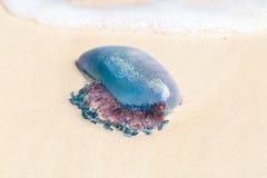 Jelly Fish del Caribe Foto de archivo
