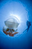 Jelly fish and a diver Stock Photo