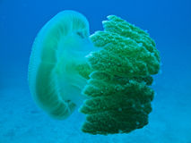 Jelly Fish on Great Barrier Reef Australia Stock Photography
