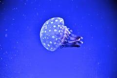 Jelly Fish im blauen Wasser lizenzfreie stockbilder
