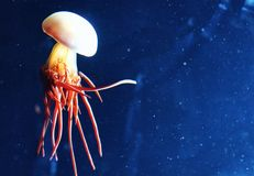 Jelly fish. Jellyfish at an aquarium behind the glass Royalty Free Stock Photography