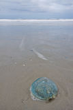 Jelly-fish lying on the beach surf of the ocean Stock Image