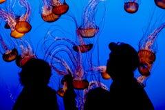 Jelly fish. Monterey Bay Aqarium, California, USA Royalty Free Stock Photography