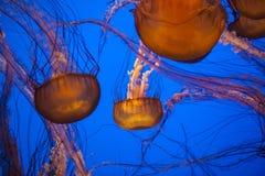 Jelly fish. Monterey Bay Aqarium, California, USA Stock Photos