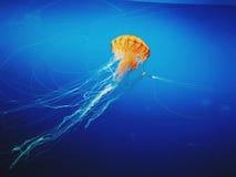 Jelly Fish. At Osaka Aquarium Royalty Free Stock Images