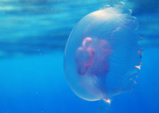 Jelly fish in Red Sea. Pink jelly fish in Red Sea underwater Stock Photos