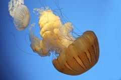 Jelly fish sea nettle Royalty Free Stock Images
