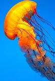 Jelly Fish Swimming Fotografia Stock Libera da Diritti