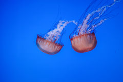 Jelly fish swimming in water Stock Photo