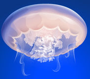 Jelly Fish Stock Photography