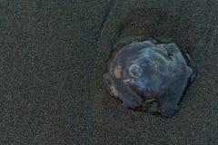 Jelly Fish Washed Ashore photographie stock libre de droits