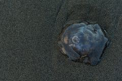 Jelly Fish Washed Ashore. On untouched brown sand royalty free stock photography