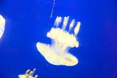 Jelly Fishes Lizenzfreies Stockbild