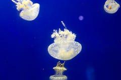 Jelly Fishes Stockfoto