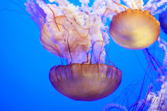 Jelly Fishes Stock Fotografie