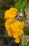 Jelly Fungus Fotografía de archivo libre de regalías