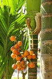 Jelly Palm (Butia capitata ) Stock Image