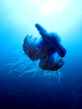 Jellyfish κουνουπιδιών Στοκ Φωτογραφίες