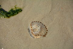 jellyfish παραλιών αμμώδη Στοκ εικόνα με δικαίωμα ελεύθερης χρήσης