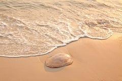 jellyfish παραλιών Στοκ Φωτογραφίες