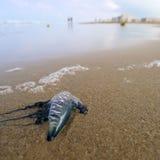 jellyfish παραλιών Στοκ Εικόνες