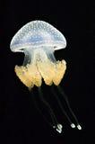 jellyfish που επισημαίνονται αυ&s Στοκ Εικόνα