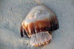 Jellyfish στην παραλία Στοκ εικόνα με δικαίωμα ελεύθερης χρήσης