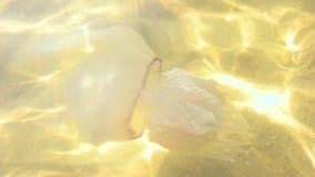 Jellyfish στο ύδωρ φιλμ μικρού μήκους