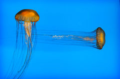 Jellyfish 001 Stock Photography