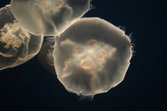 Jellyfish. Three jellyfish appear motionless as if in some kind of abys Stock Photography