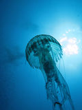 Jellyfish Royalty Free Stock Image