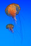 Jellyfish. Two Jellyfish - Sea nettles (Chrysaora quinquecirrha Stock Photos