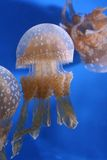 Jellyfish. Bright jellyfish on display in Okinawa's Churaumi Aquarium Royalty Free Stock Images