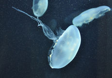 Jellyfish. Swimming in dark waters Royalty Free Stock Photography
