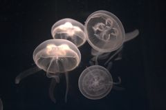 Jellyfish. White jellyfish with light effect against black background royalty free stock image