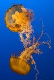 jellyfish Obrazy Royalty Free