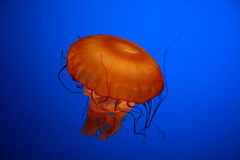 Jellyfish. An orange jellyfish against a blue background Stock Photo