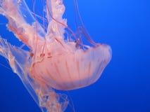 jellyfish Στοκ φωτογραφία με δικαίωμα ελεύθερης χρήσης